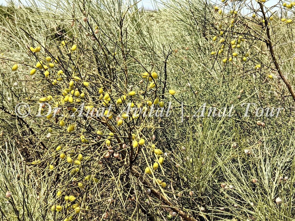 """פרות רותם המדבר, צילום: דר"""" ענת אביטל"""