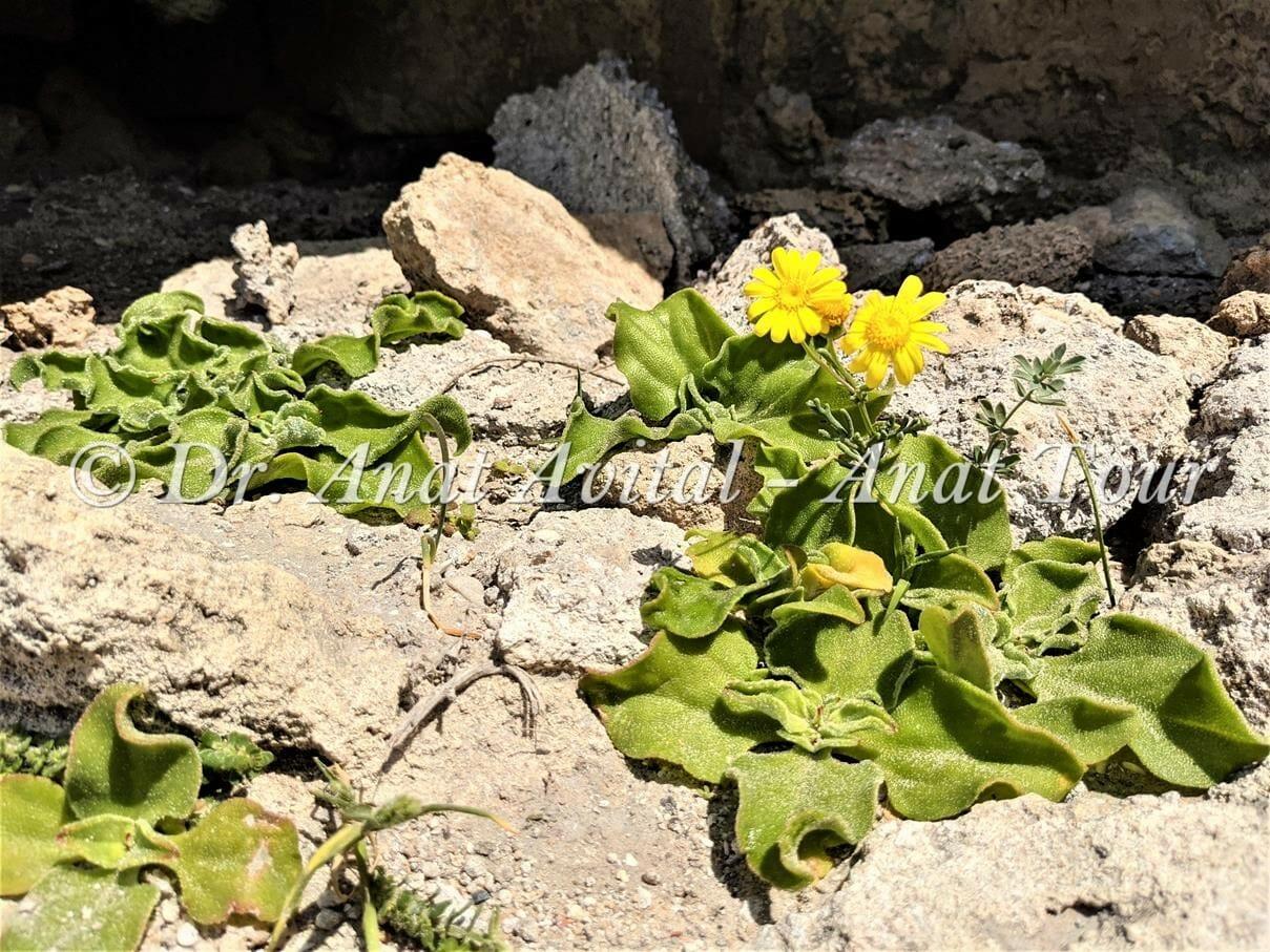 """אהל גבישים וסביון יפו, חוף קיסריה, צילום: ד""""ר ענת אביטל"""