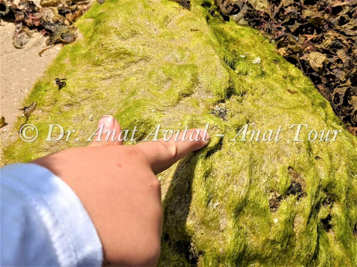 """פרשדונית, אצה ירוקייה בחוף קיסריה, צילום: ד""""ר ענת אביטל"""