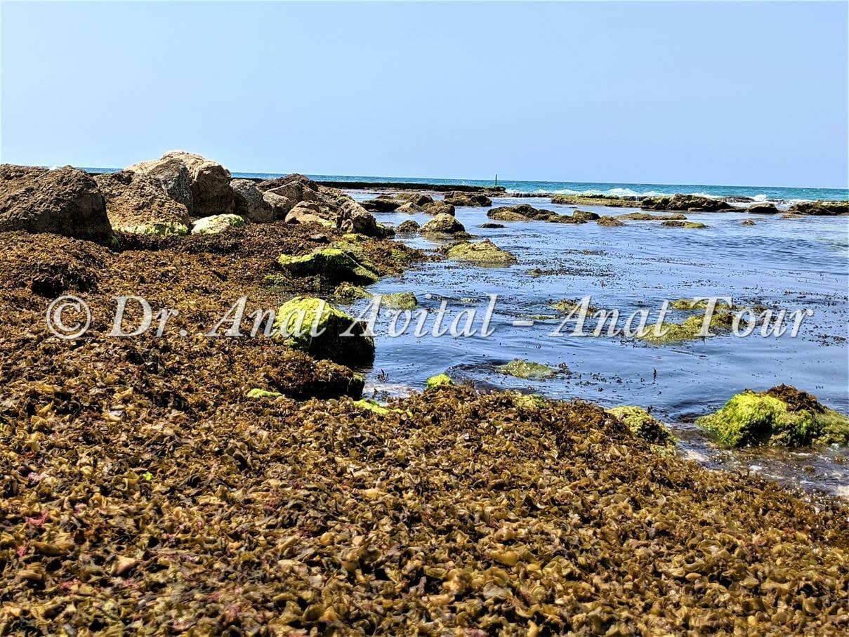 """אצות חומיות וירוקיות בחוף קיסריה צילום: ד""""ר ענת אביטל"""