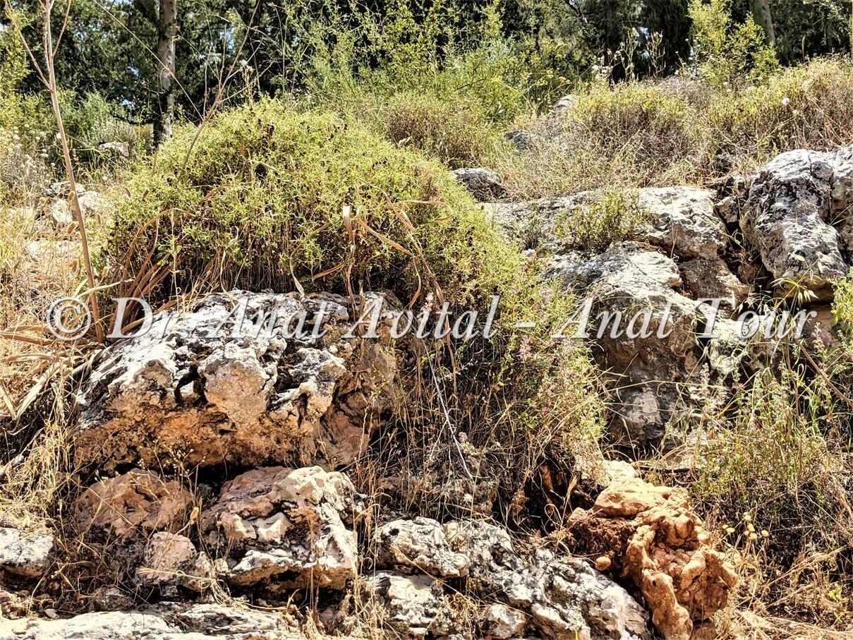 """סירה קוצנית, צמחיית בתה בהרי ירושלים, צילום: ד""""ר ענת אביטל"""