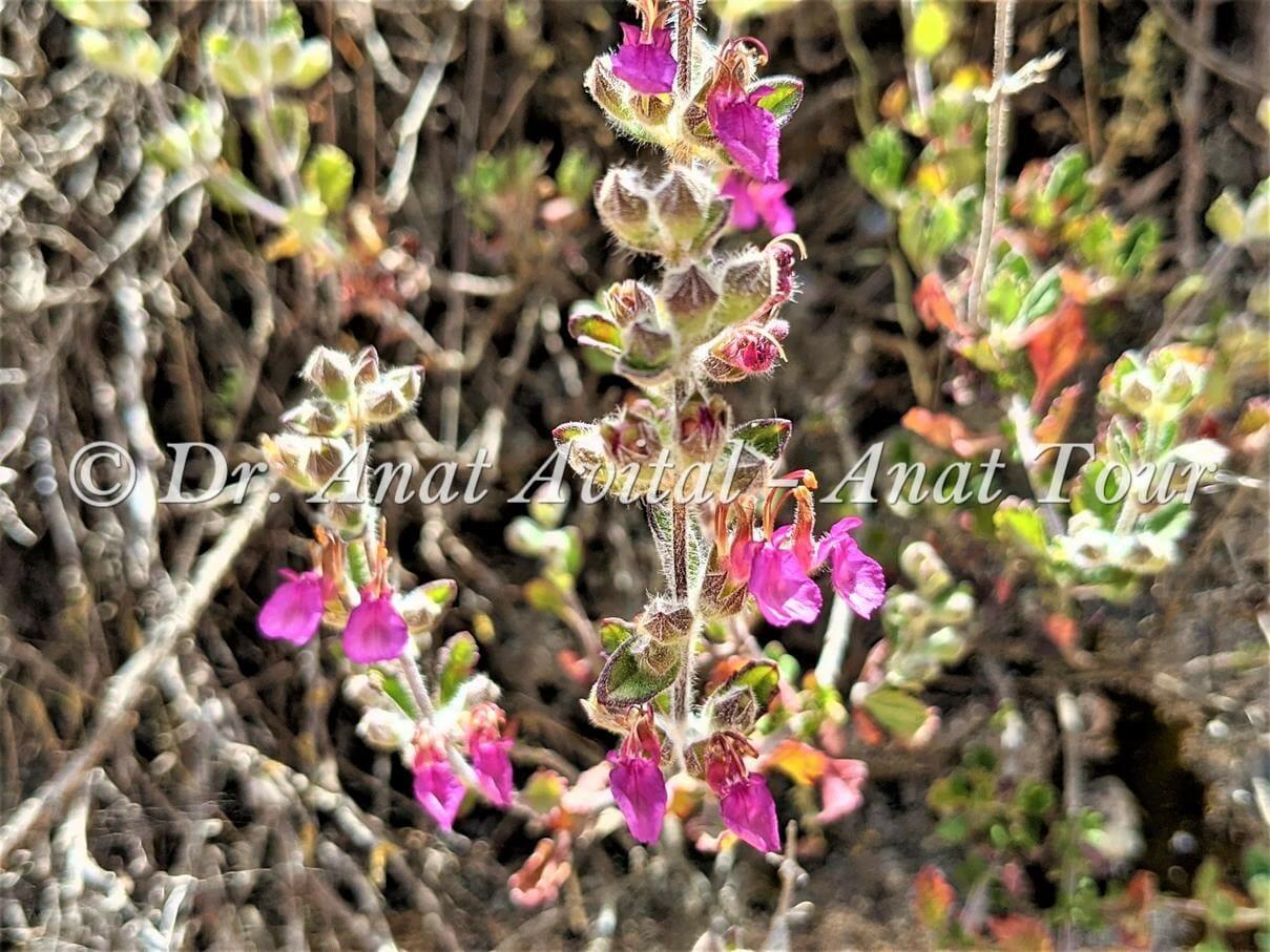 """געדה כרתית, פריחת קיץ סגולה-ורודה, צילום: ד""""ר ענת אביטל"""