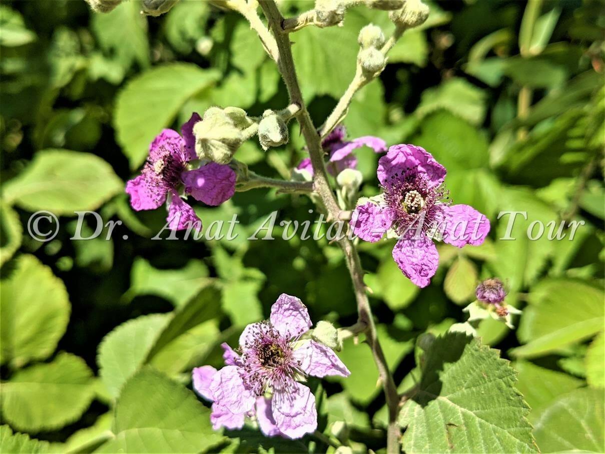 """פטל קדוש, פרח ורוד, צמחיית גדות נחלים ומים מתוקים, צילום: ד""""ר ענת אביטל"""