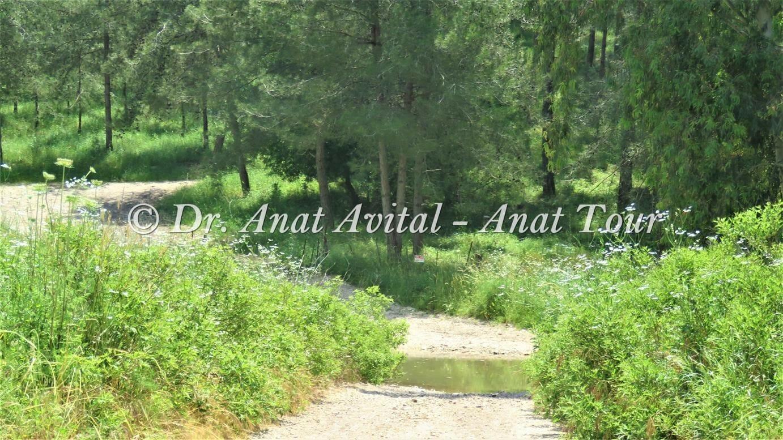 """יער אורנים, נחל שלף רמות מנשה, צילום: ד""""ר ענת אביטל"""