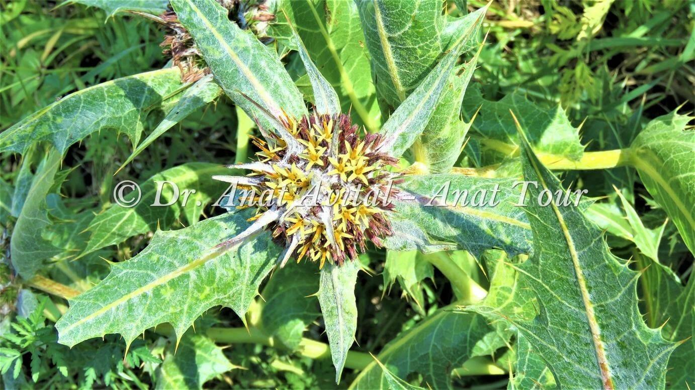 """עכובית הגלגל פרח קוצני צהוב, צילום: ד""""ר ענת אביטל"""