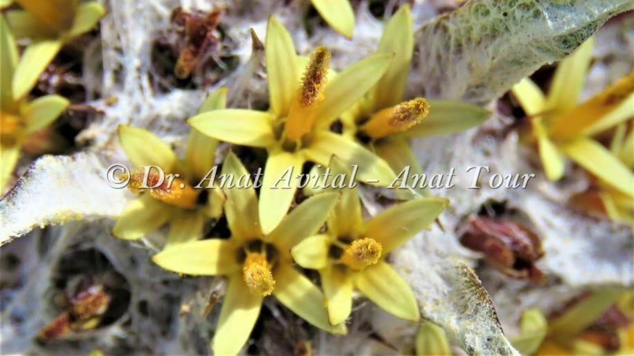 """עכובית הגלגל פרח צהוב, צילום: ד""""ר ענת אביטל"""