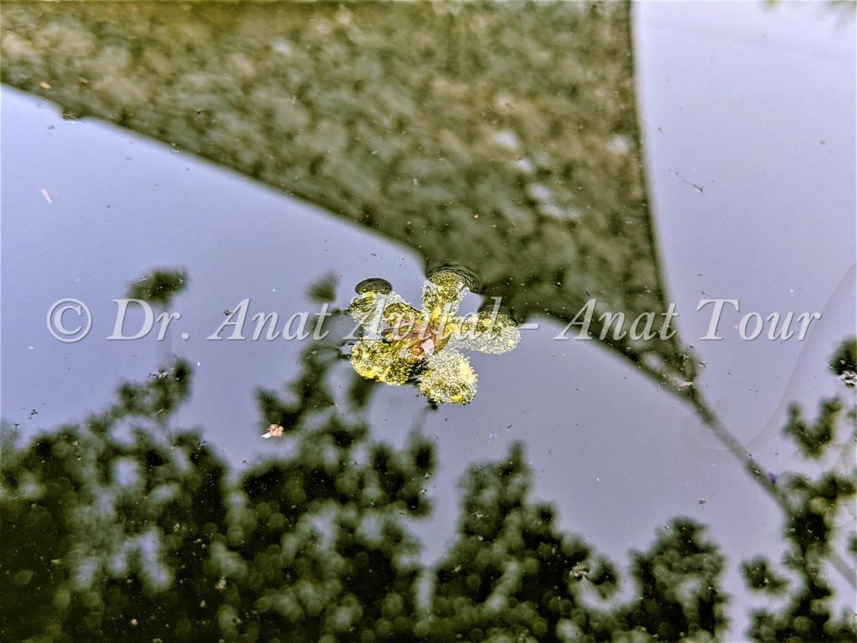 """פרח מהוב של בוצין מפורץ, צף במי עין אשקף: טיול מים קצר בהרי ירושלים, צילום: ד""""ר ענת אביטל"""