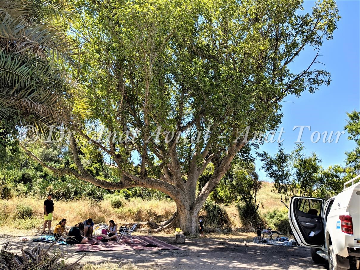 """עץ שקמה ענק למרגלות תל איילון וליד בית הקשתות, ד""""ר ענת אביטל"""