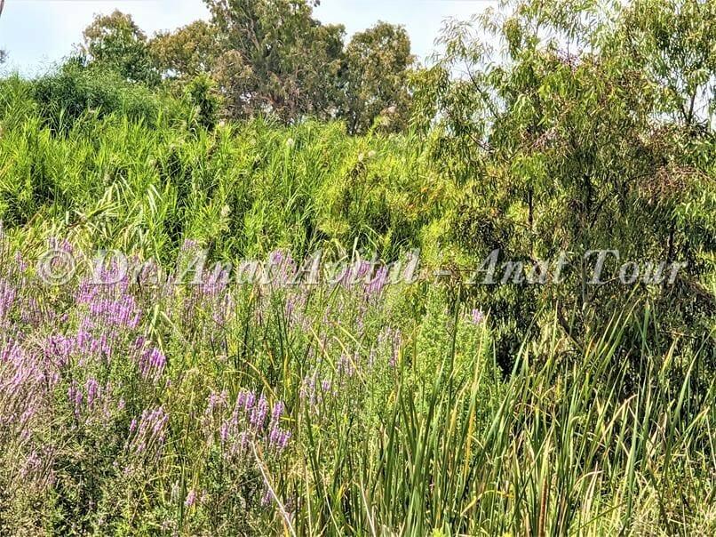 """ערברבה שעירה, קנה מצוי ואקליפטוסים על גדות נחל שורק, חולות פלמחים, צילום: ד""""ר ענת אביטל"""
