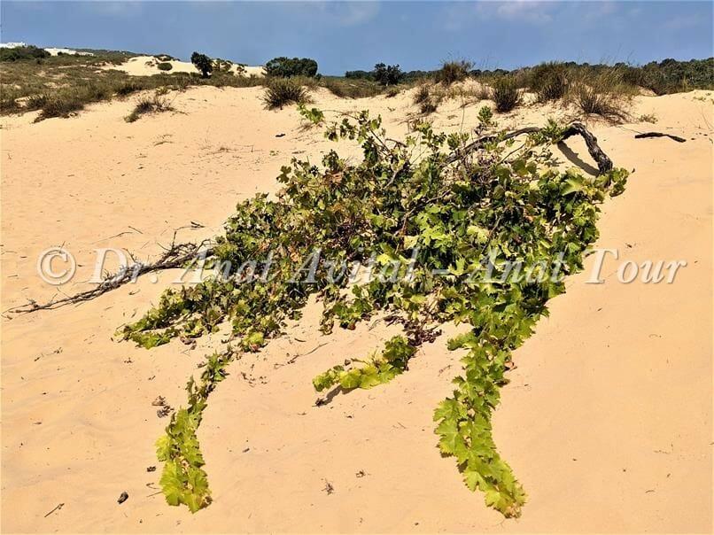 """גפן חקלאות מואסי, דיונות וחולות בשפך נחל שורק-פלמחים, צילום: ד""""ר ענת אביטל"""