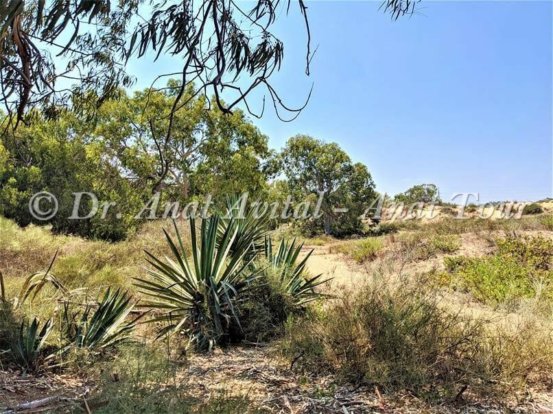 """אגבה חקלאות מואסי, דיונות וחולות בשפך נחל שורק-פלמחים, צילום: ד""""ר ענת אביטל"""