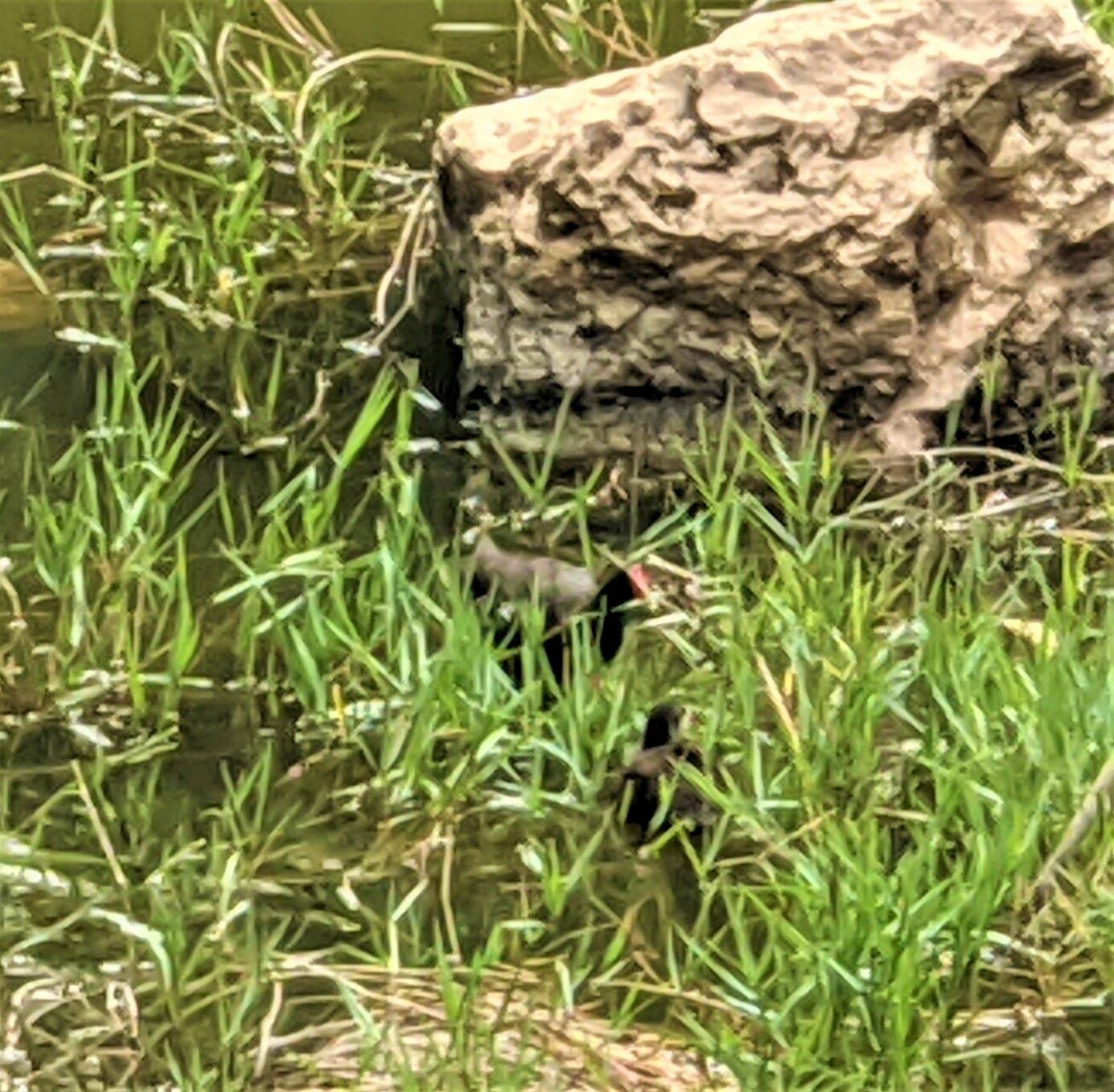 """סופית מצויה, עוף מים ממשפחת הרליתיים מסדרת העגוראים, צילום: ד""""ר ענת אביטל"""