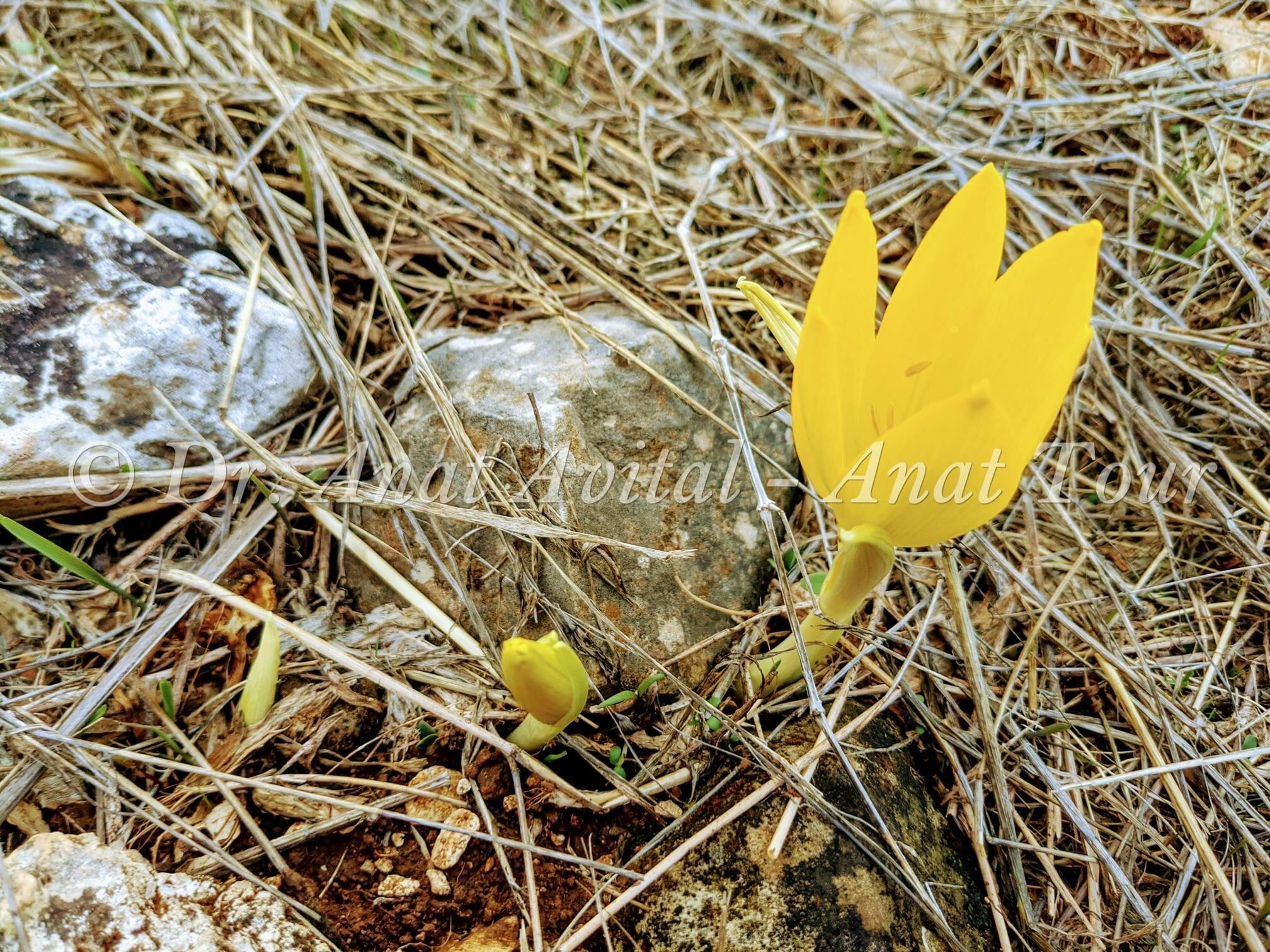 """החלמונית הגדולה על הצלע הדרומית של יובל נחל סנסן, שמורת טבע סנסן, צילום: ד""""ר ענת אביטל"""