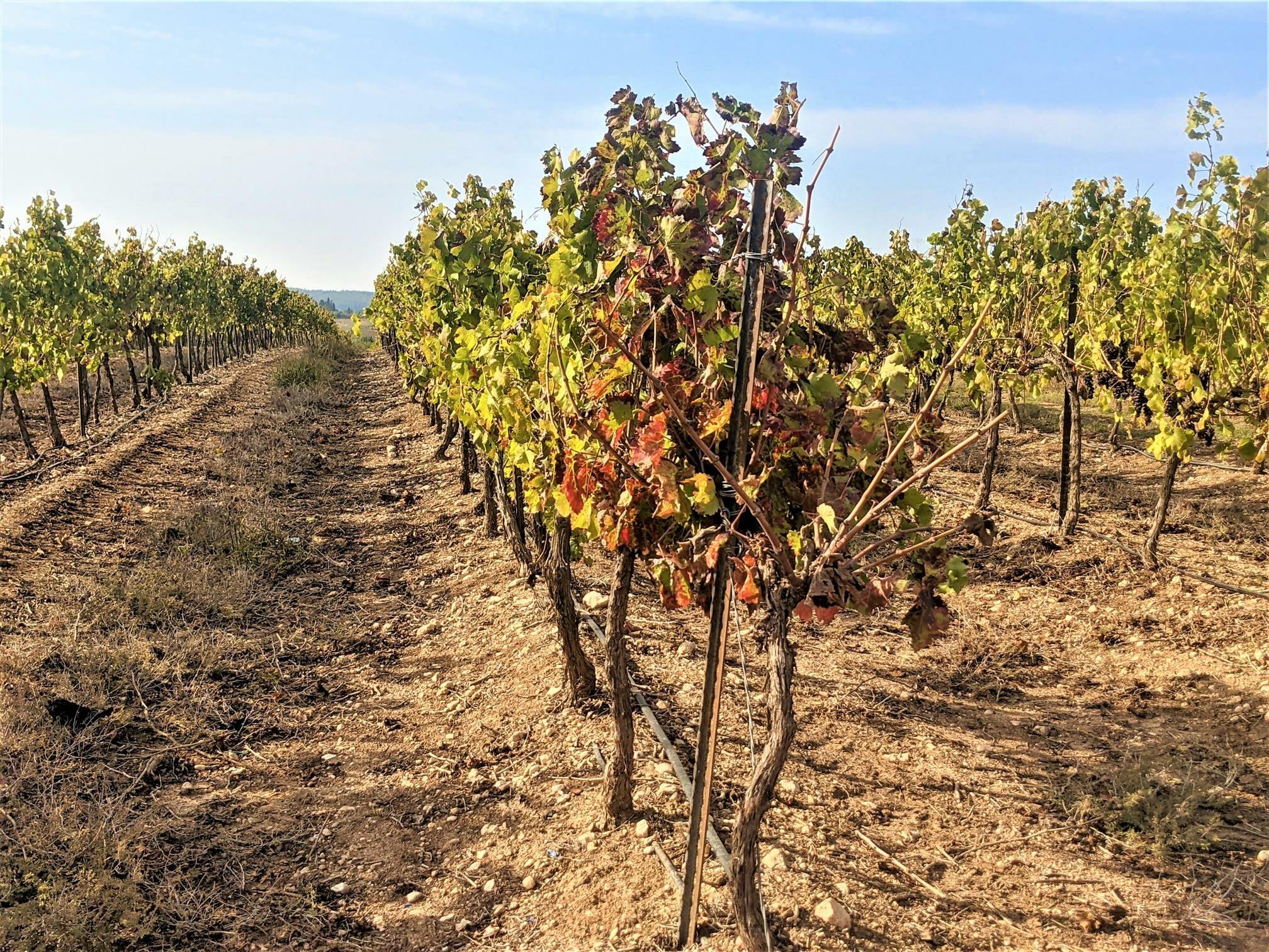 """כרמי לענבי יין של מנזר השתקים בלטרון, צילום: ד""""ר ענת אביטל"""