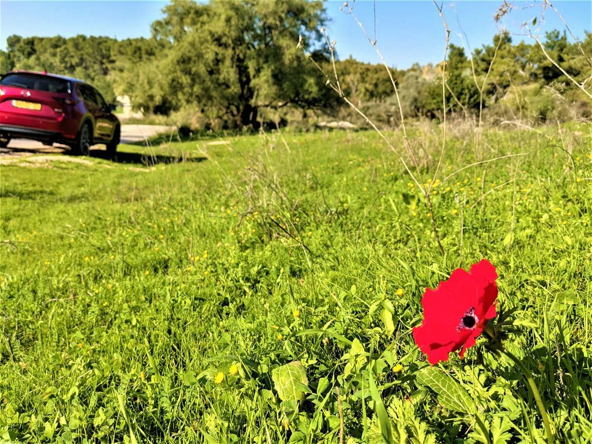 """כלנית אדומה ביער בן שמן, צילום: ד""""ר ענת אביטל"""