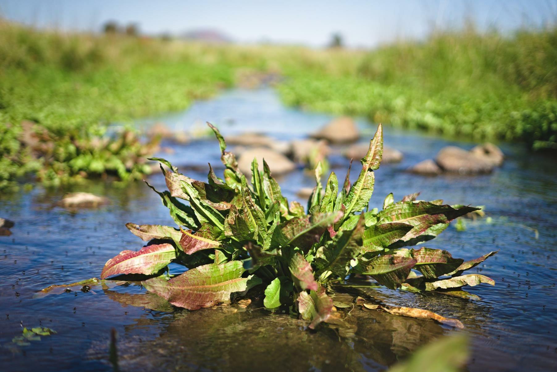 צמחי מים בנחל דליות ליד רוג'ום אל הירי, שביל הגולן, טיול משפחה וילדים, צילום: יוסי אביטל