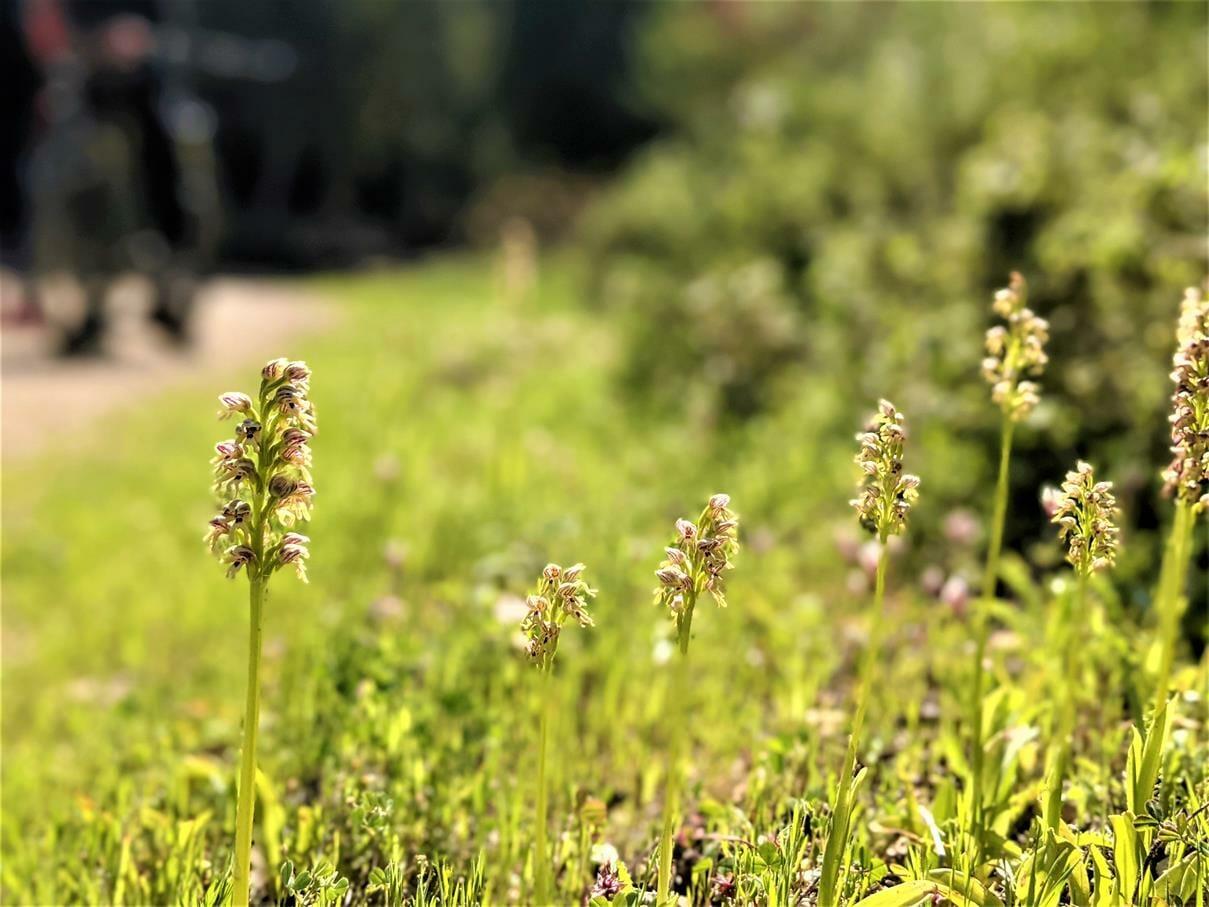 """סחלב הגליל Orchis galilaea, פריחת אביב צהבהבה, צילום: ד""""ר ענת אביטל"""