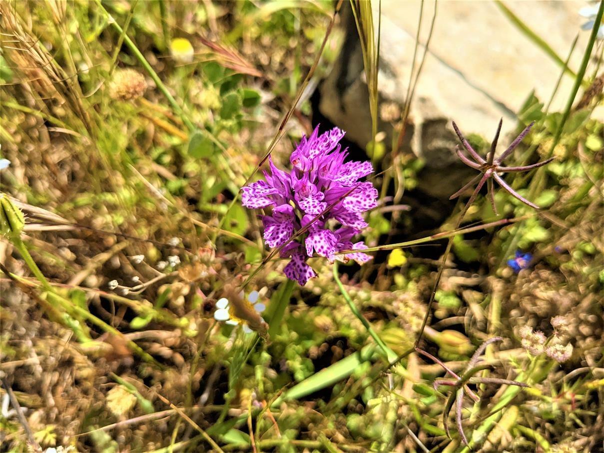 """סחלב שלוש שיניים Orchis tridentata, פריחה באביב, צילום: ד""""ר ענת אביטל"""