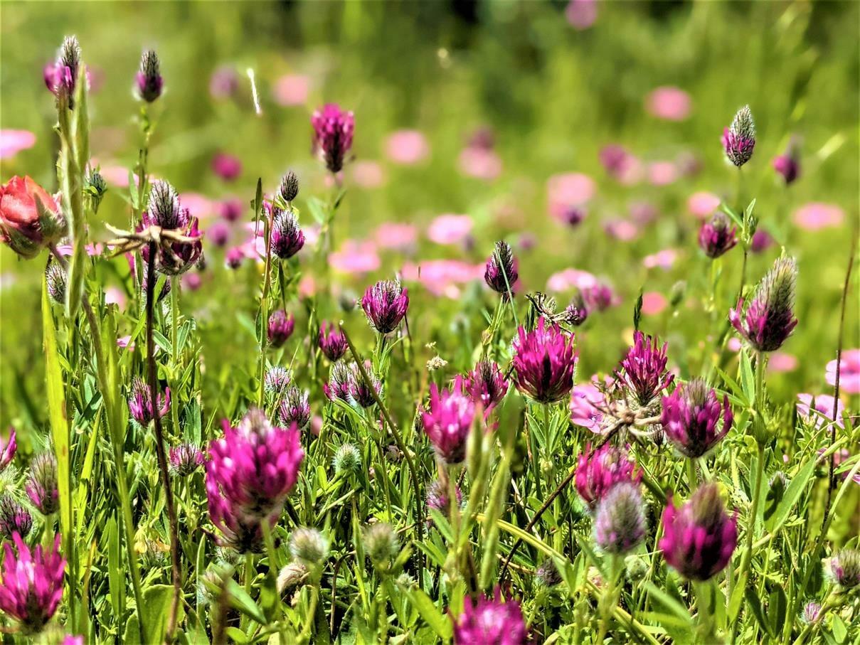 """תלתן הארגמן Trifolium purpureum, פריחת אביב סגולה, צילום: ד""""ר ענת אביטל"""