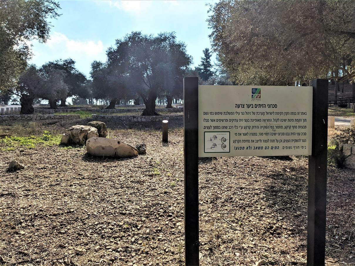 """כיכר מרכזית וחניונים בצל יער אורנים ביער צרעה-יער הנשיא, צילום: ד""""ר ענת אביטל"""