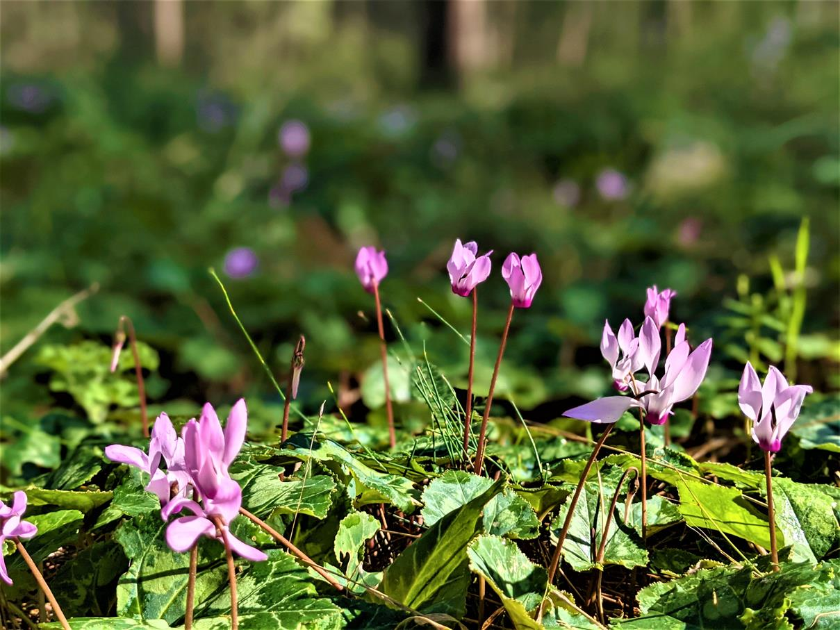 """ים של רקפות בפריחה חורפית, בצל יער אורנים ביער צרעה-יער הנשיא, צילום: ד""""ר ענת אביטל"""