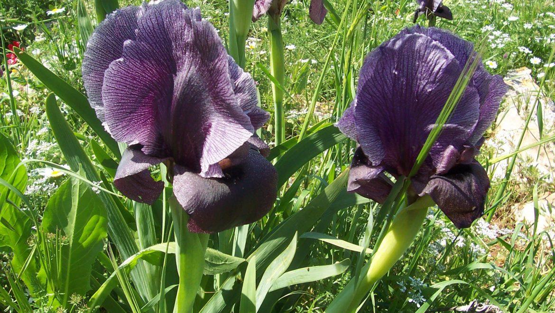 אירוסי ההיכל – אירוסי אונקוציקלוס – הפרחים היפים ביותר של האביב הישראלי
