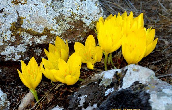 שמורת טבע רכס בשנית – הר חוזק (תל חזקה): פריחת חלמוניות בצפון הגולן