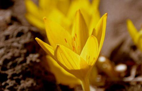 חֶלְמוֹנִית גְּדוֹלָה: שיגעון של פריחה צהובה בסתיו