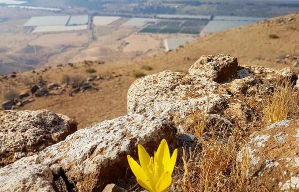 חלמונית גדולה במצוק מבוא חמה: פריחה צהובה מסנוורת מעל נופי כינרת