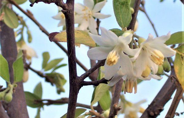 ליבנה רפואי: עץ עם פריחת אביב לבנה וריחנית