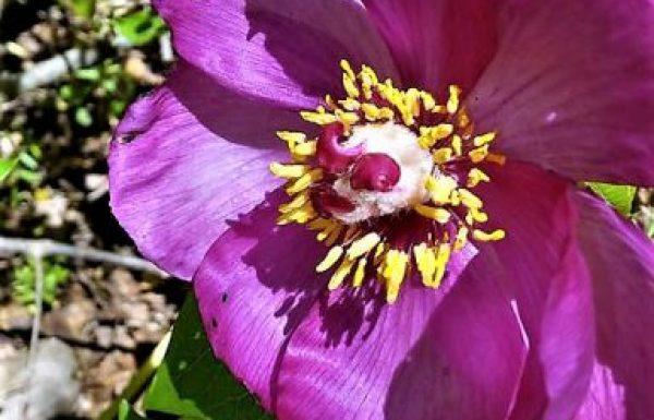 אַדְמוֹנִית הַחֹרֶשׁ: פרח ורוד-ארגמן אביבי