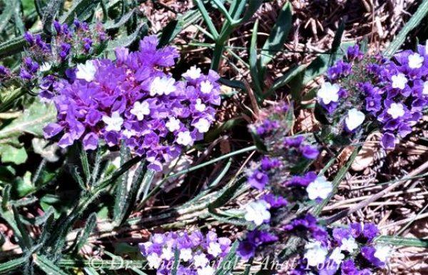 עדעד כחול: פריחת אביב וקיץ ברצועת החוף בישראל
