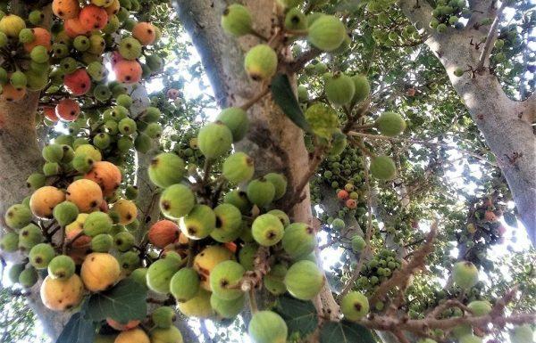 פִיקוּס הַשִּׁקְמָה: גמזיות מתוקות על עץ עתיק ומיוחד מאוד