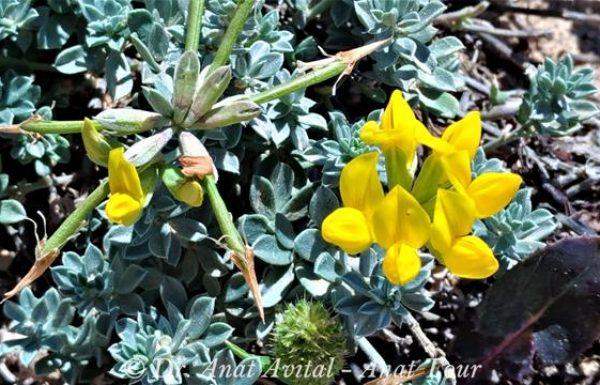 לוטוס מכסיף: פריחת אביב וקיץ לאורך מישור החוף