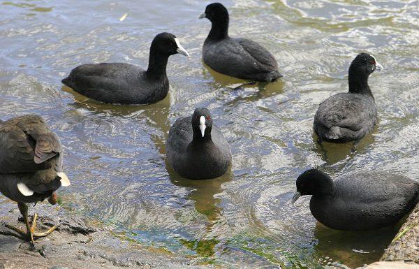 סופית מצויה ואגמית מצויה וההבדלים ביניהם | עופות מים בנחלים, שלוליות חורף וברכות מים