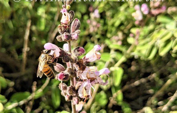 מַרְוָה מְשֻׁלֶּשֶׁת – פריחה ורודה של צמח התה וטיהור הגוף המושלם