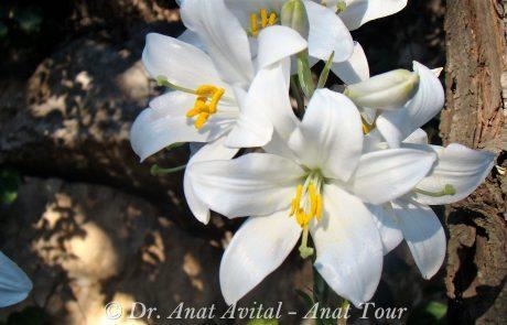 שושן צחור: מלך פרחי האביב הישראלי