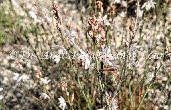 עירית נבובה: פריחת אביב לבנה-ורודה