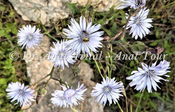 חסה כחולת פרחים: פריחה תכולה באביב