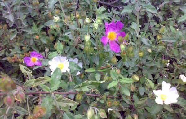לֹטֶם מַרְוָנִי ולֹטֶם שָׂעִיר: פריחה בוורוד ובלבן באביב הישראלי