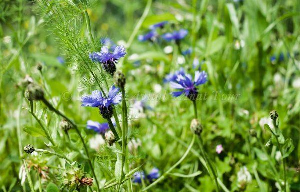 דַּרְדַּר כָּחֹל: פריחת אביב כחולה מהממת