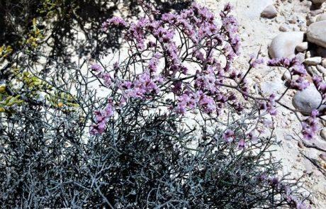 עַדְעַד מְאֻבָּק: פריחת אביב ורודה מדברית בדרום, במדבר יהודה, בנגב והרי אילת