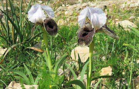 איריס נצרתי בשמורת אירוס נצרתי בהר יונה בנצרת
