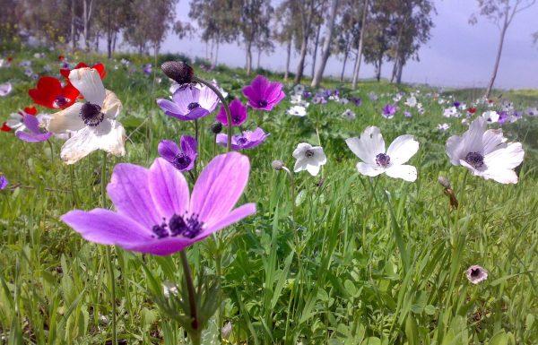 שמורת טבע מנחת מגידו: טיול פריחה חורפי אל פריחת כלניות בשלל צבעים