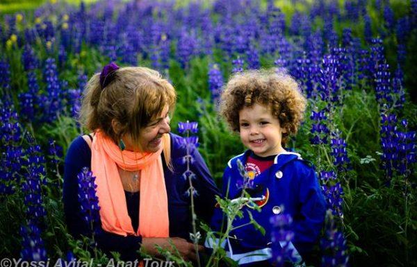 פריחת תורמוס ההרים הכחול: שמורת נאעורה – יער האקליפטוסים – ריכוז אדיר של פריחת אביב בגליל התחתון
