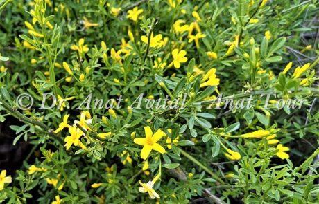 יַסְמִין שִׂיחָנִי: פריחת אביב צהובה