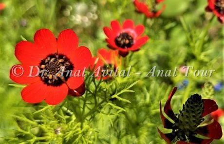 דְּמוּמִית קְטַנַּת-פְּרִי: פרח אדום אביבי קטן ומקסים