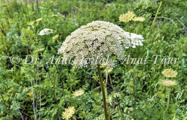 גֶּזֶר קִפֵּחַ: תפרחת לבנה גדולה וגבוהה- באביב ובקיץ