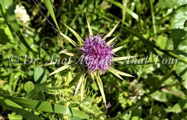 גְּדִילָן מָצוּי: צמח קוצני עם פריחה סגולה באביב