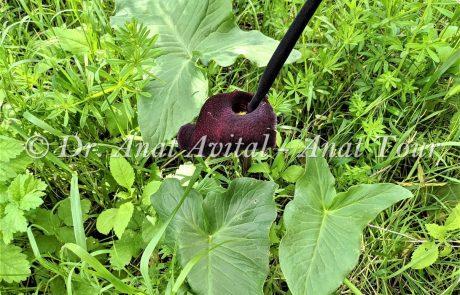 לוּף אֶרֶץ-יִשְׂרְאֵלִי: צמח רעיל עם תפרחת לשון ארגמנית ובליבה חנית